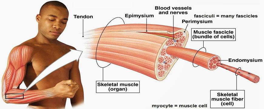 Epidmisio perimisio endomisio