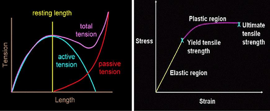 diagramma forza lunghezza muscolo