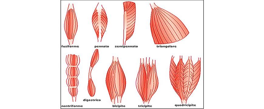 fibre muscolari pennate