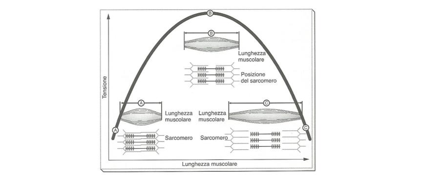 diagramma muscolo