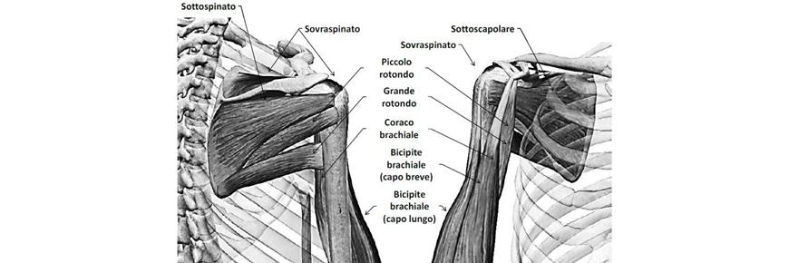 muscoli extrarotatori