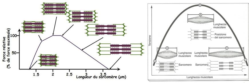 diagramma tensione lunghezza muscolare