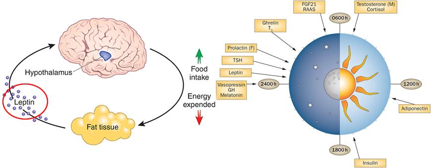 ritmi circadiani leptina