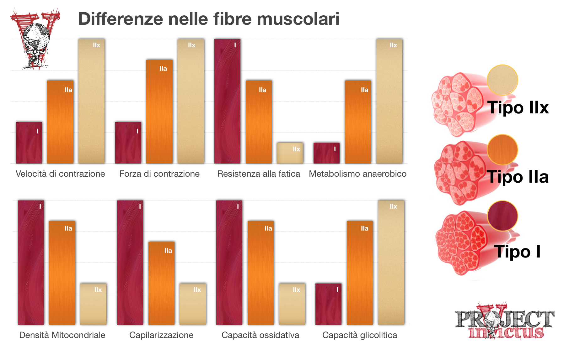 Differenze nelle fibre muscolari