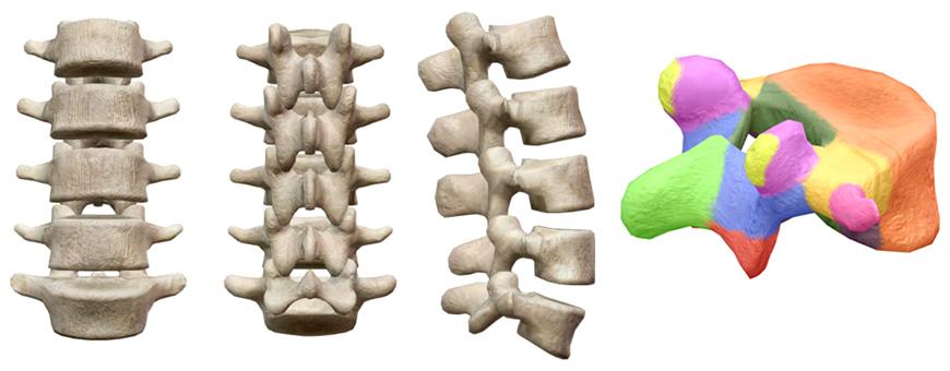 vertebre lombari