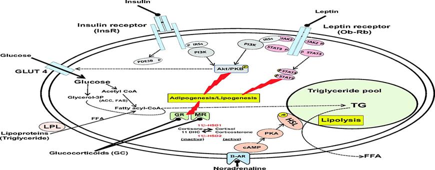 cortisolo lipolisi