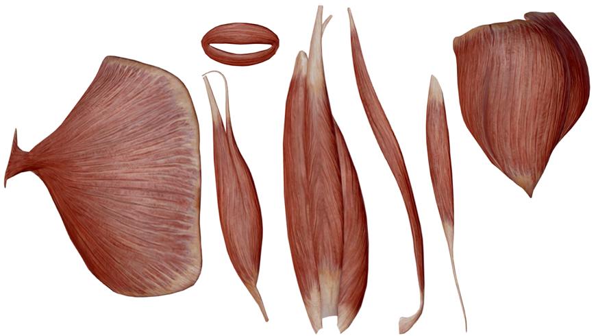 forma muscoli