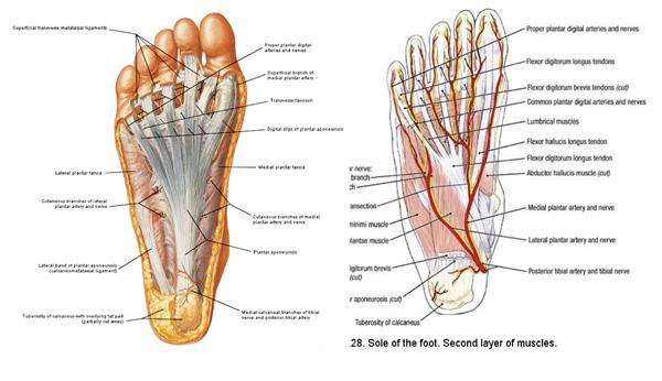 fascia plantare del piede