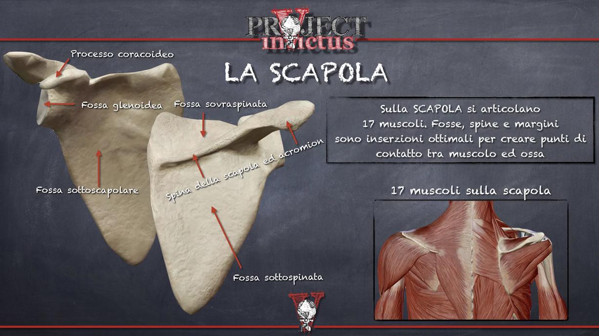anatomia scapola