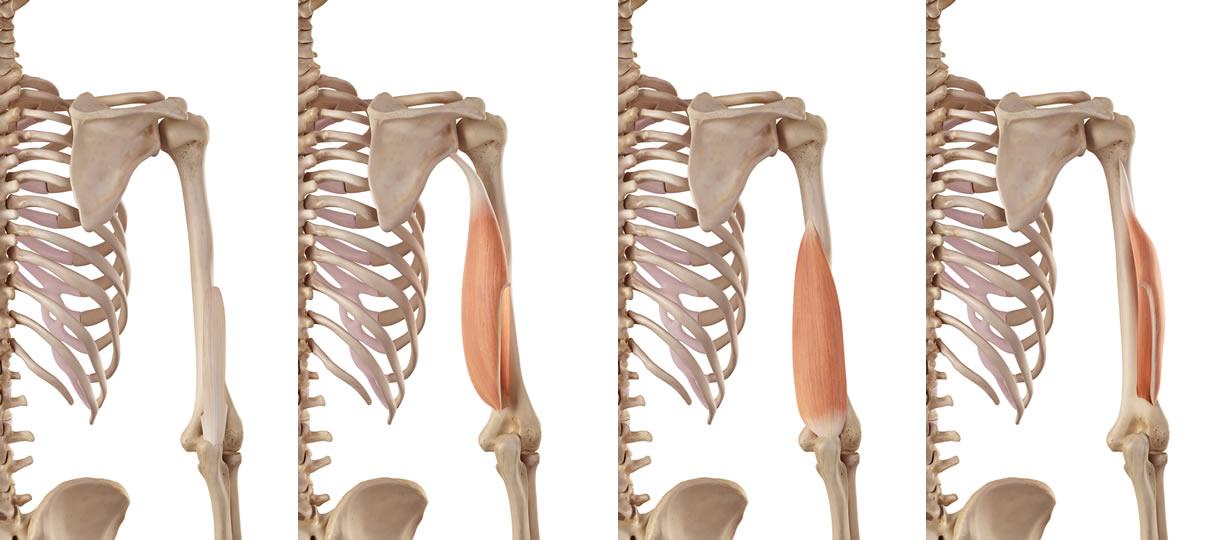 anatomia tricipite