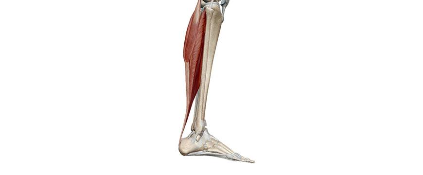 caviglia anatomia
