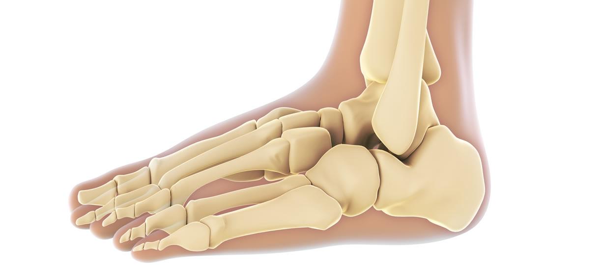 anatomia piede