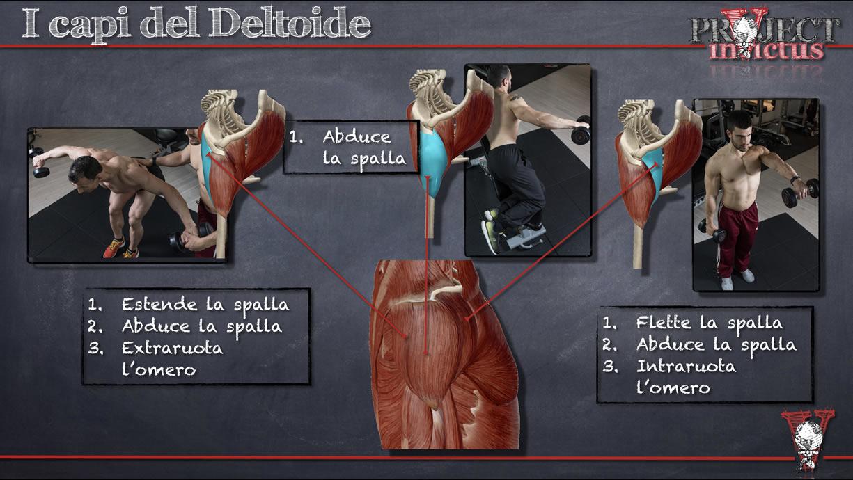 capi del deltoide ed allenamento spalle