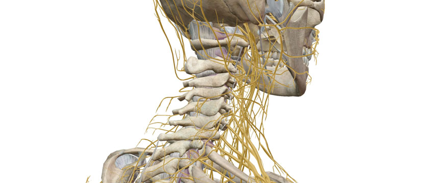 nervi spinali