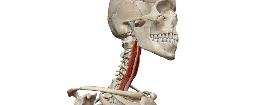 flessori profondi cervicali