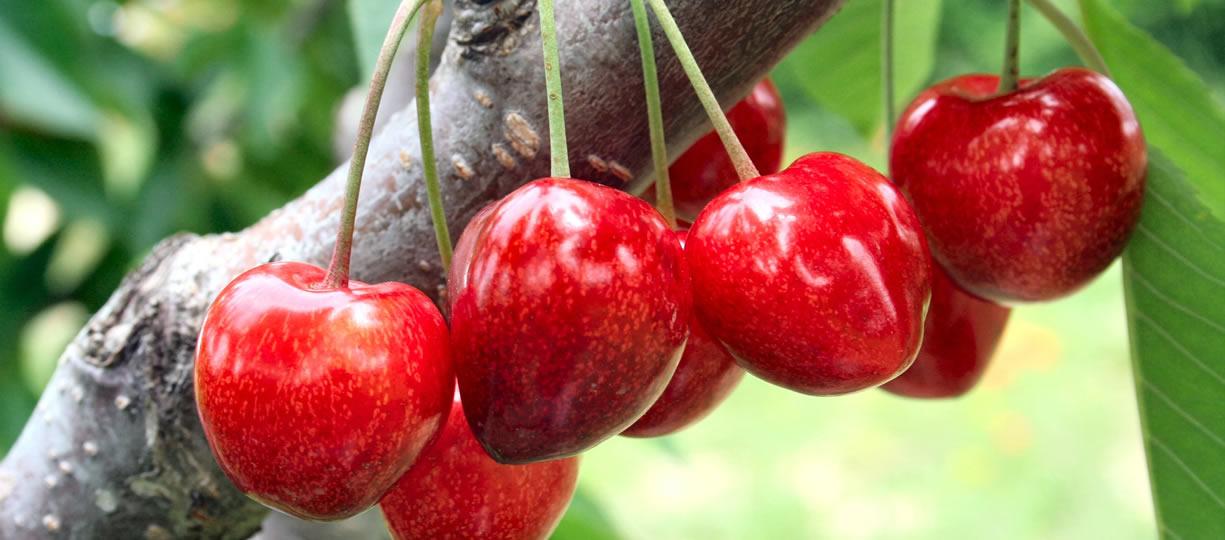 calorie ciliegie