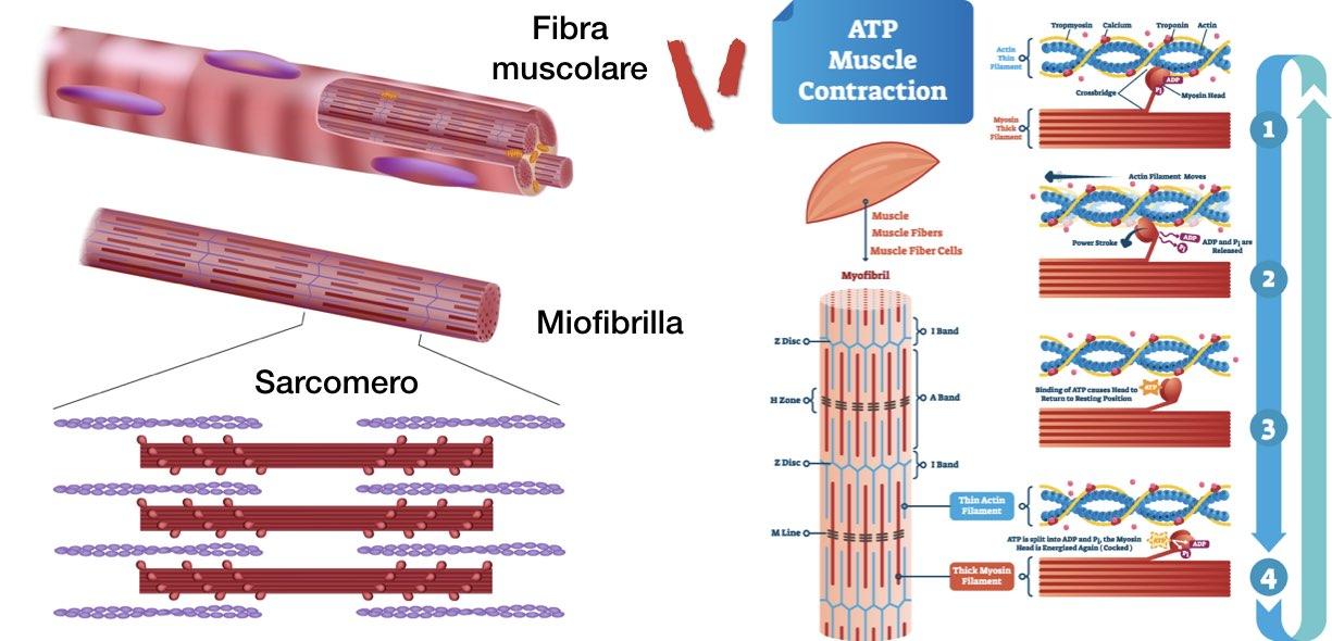 Anatomia fibrocellula muscolare