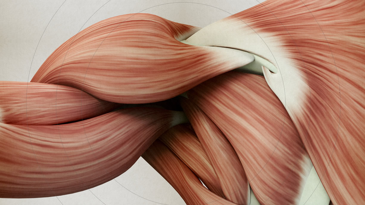 fibrocellula muscolare
