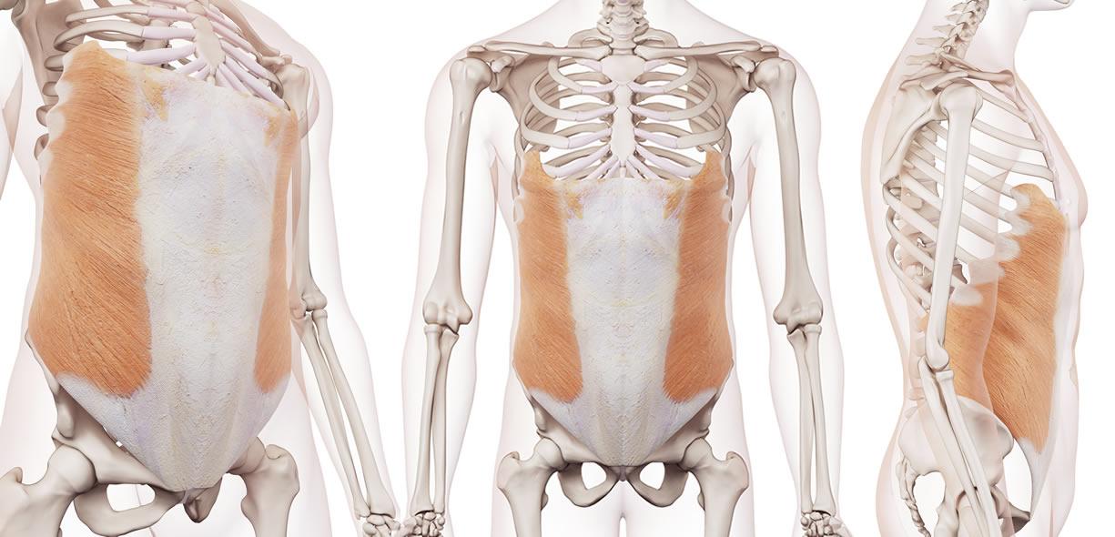 muscolo obliquo esterno