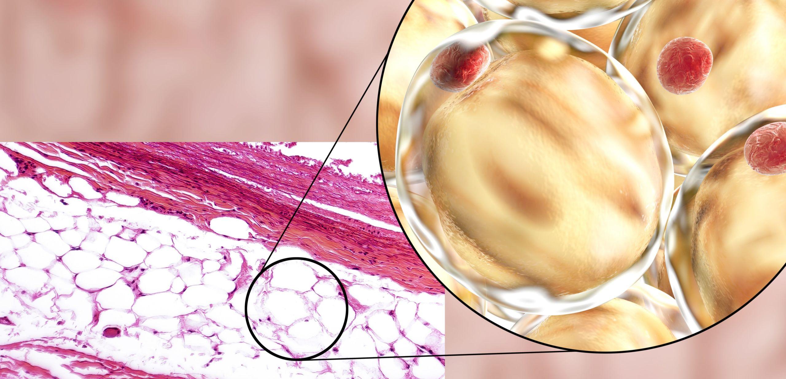 Tessuto adiposo bianco e struttura adipocita