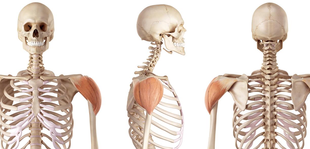 anatomia capi del deltoide