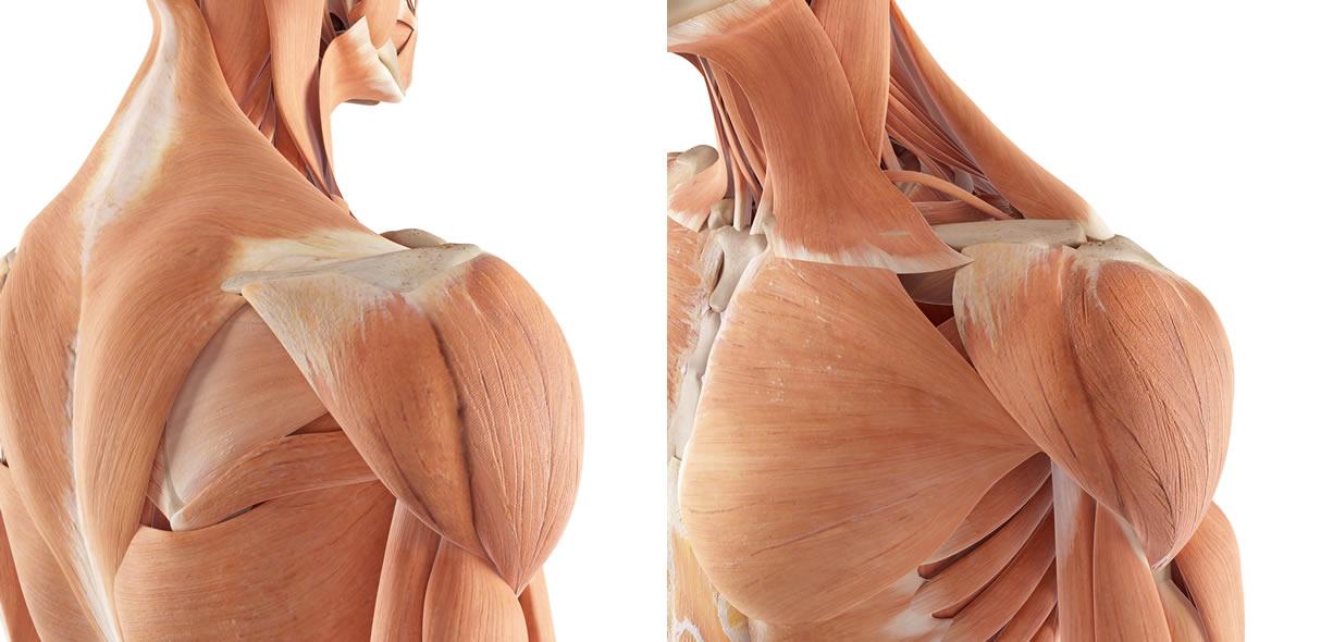 deltoide anatomia