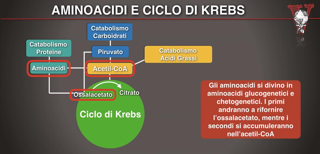 aminoacidi glucogenetici e chetogenici