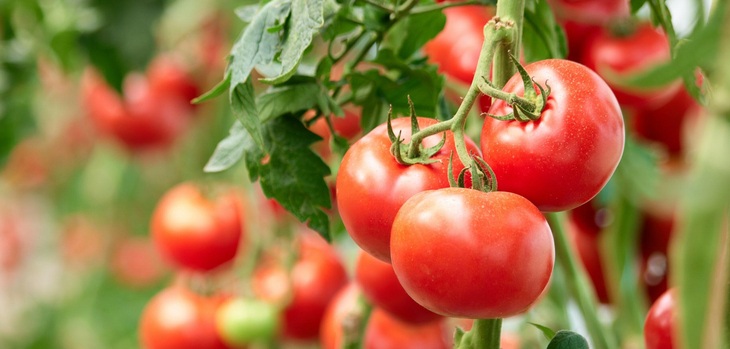 pomodori proprietà e benefici nella dieta