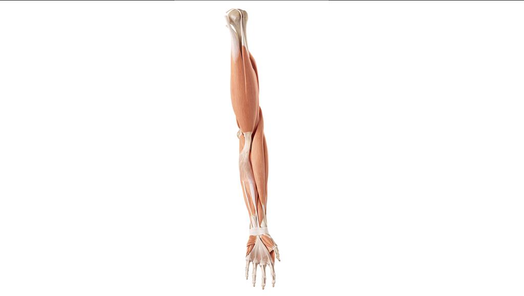 muscoli braccio
