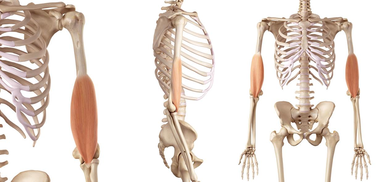 il muscolo brachiale