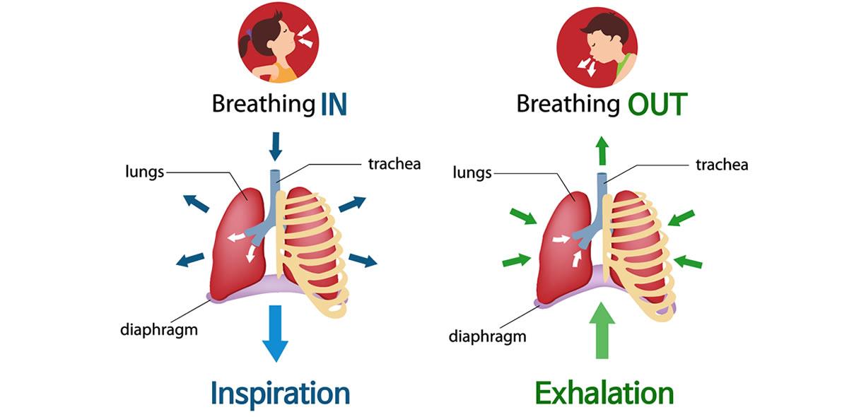 come funziona la respirazione