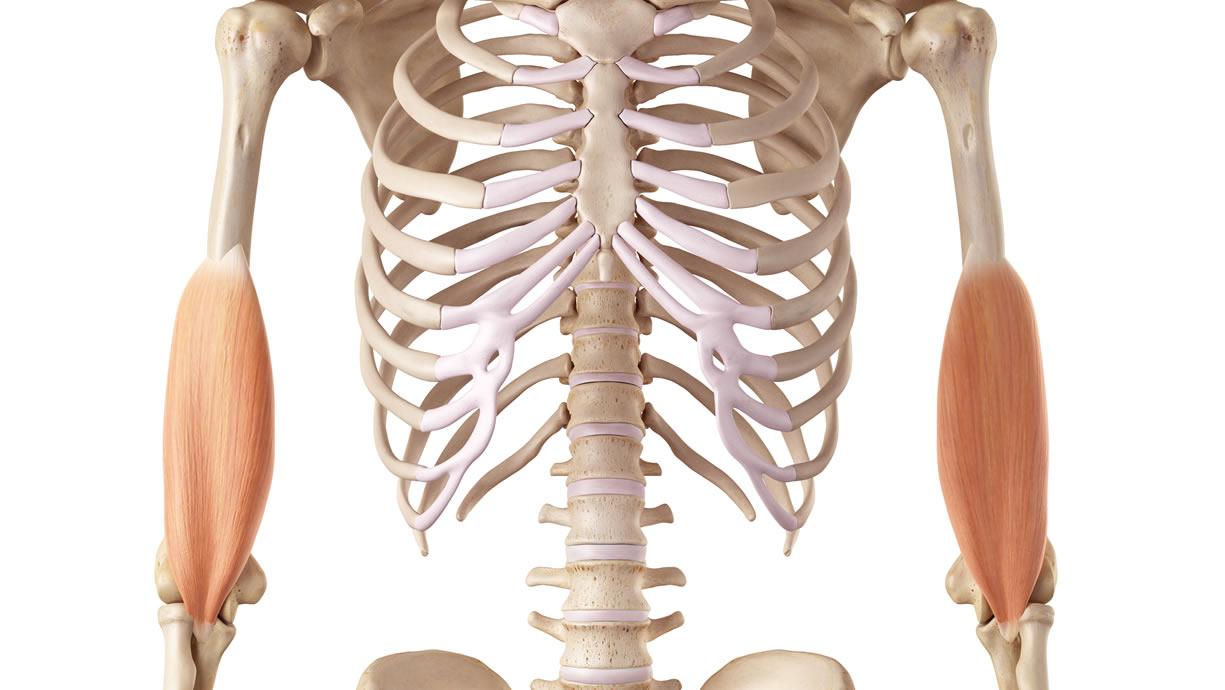 muscolo brachiale