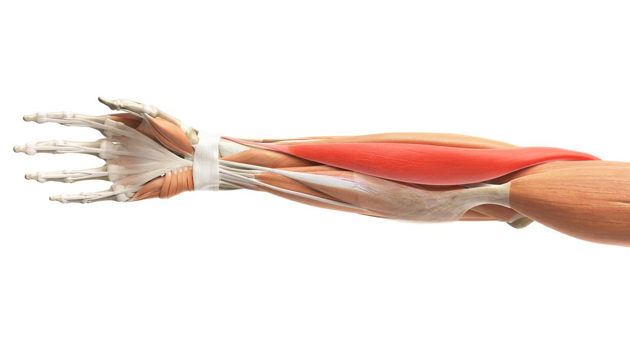 muscolo brachioradiale