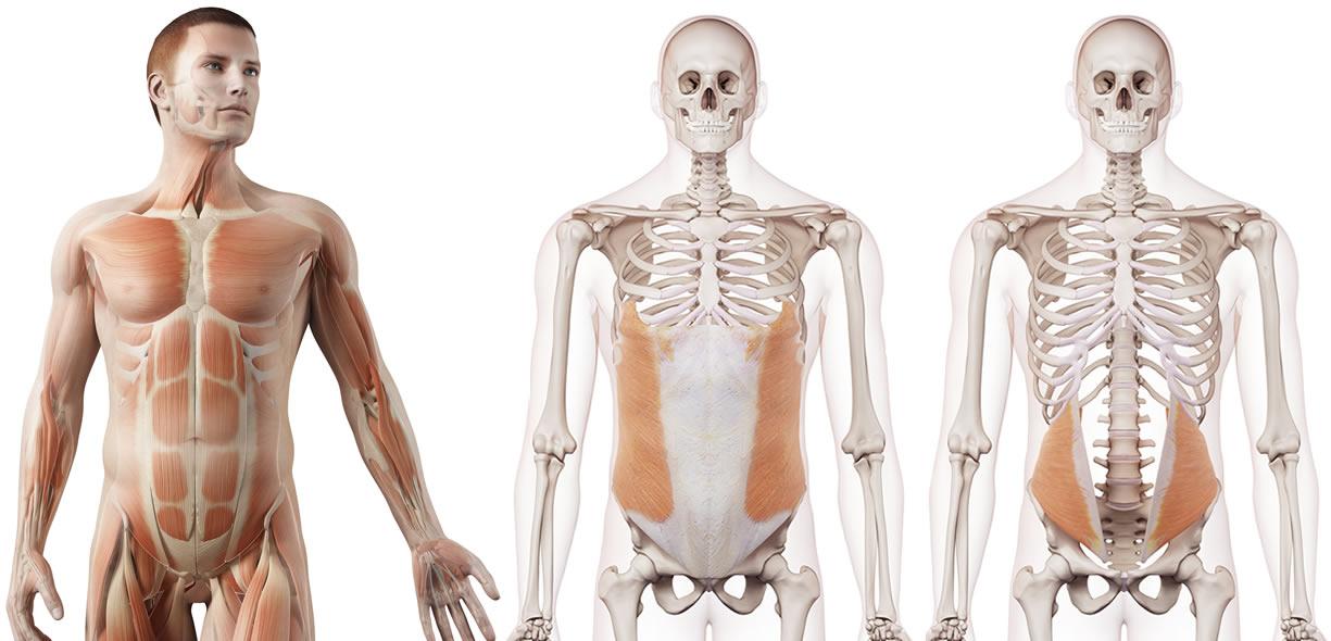 muscoli obliqui