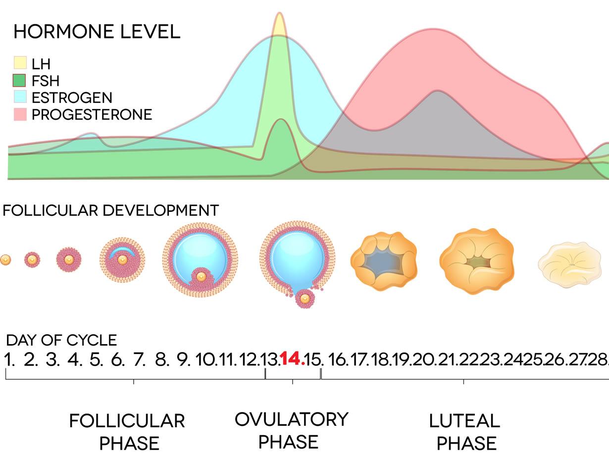 Ormoni ciclo mestruale