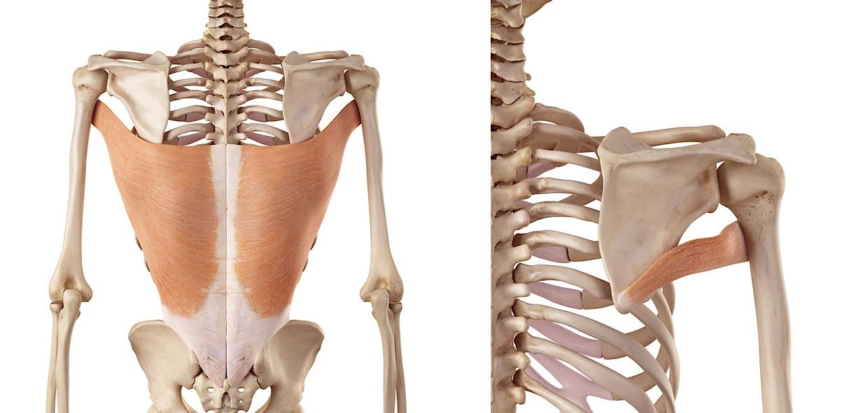 Gran dorsale e grande rotondo