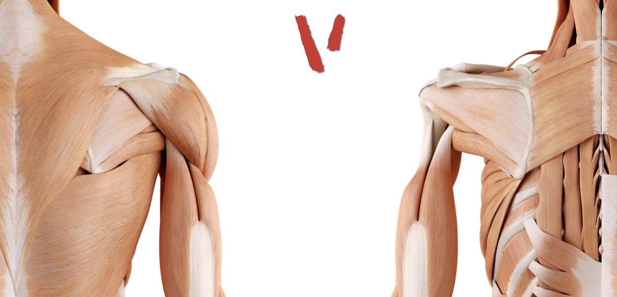 Immagini anatomia spalla visione posteriore