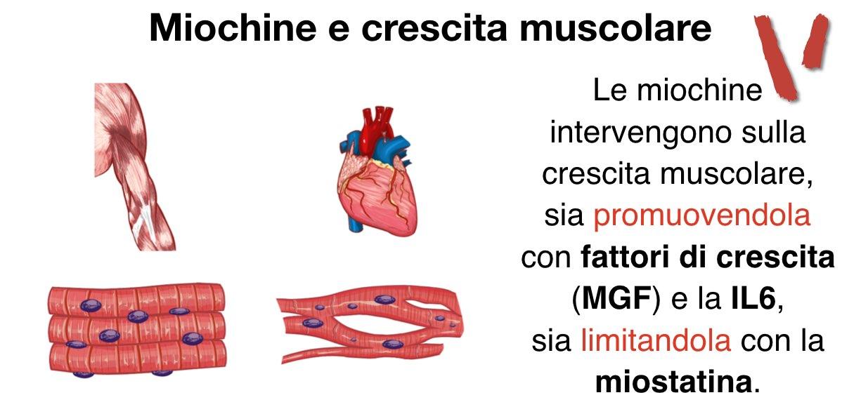 Miochine e crescita muscolare