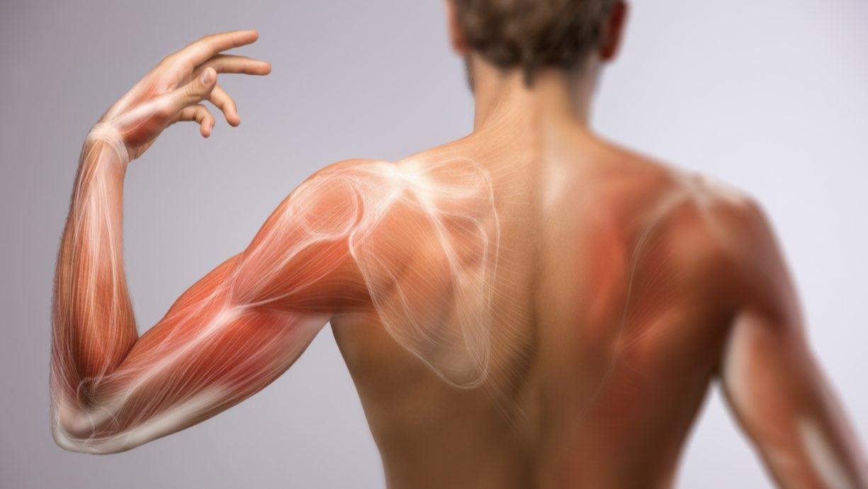 Catabolismo muscolare