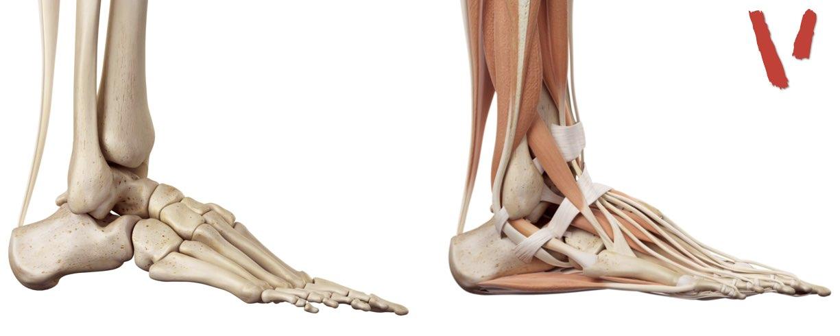 Anatomia caviglia laterale