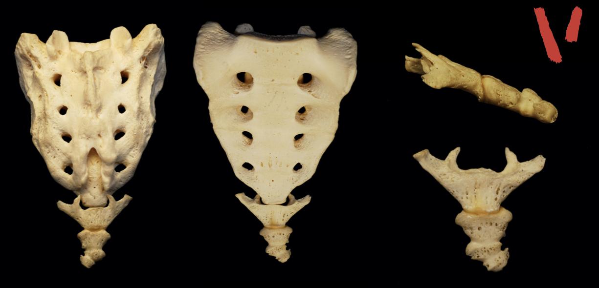 anatomia del Coccige