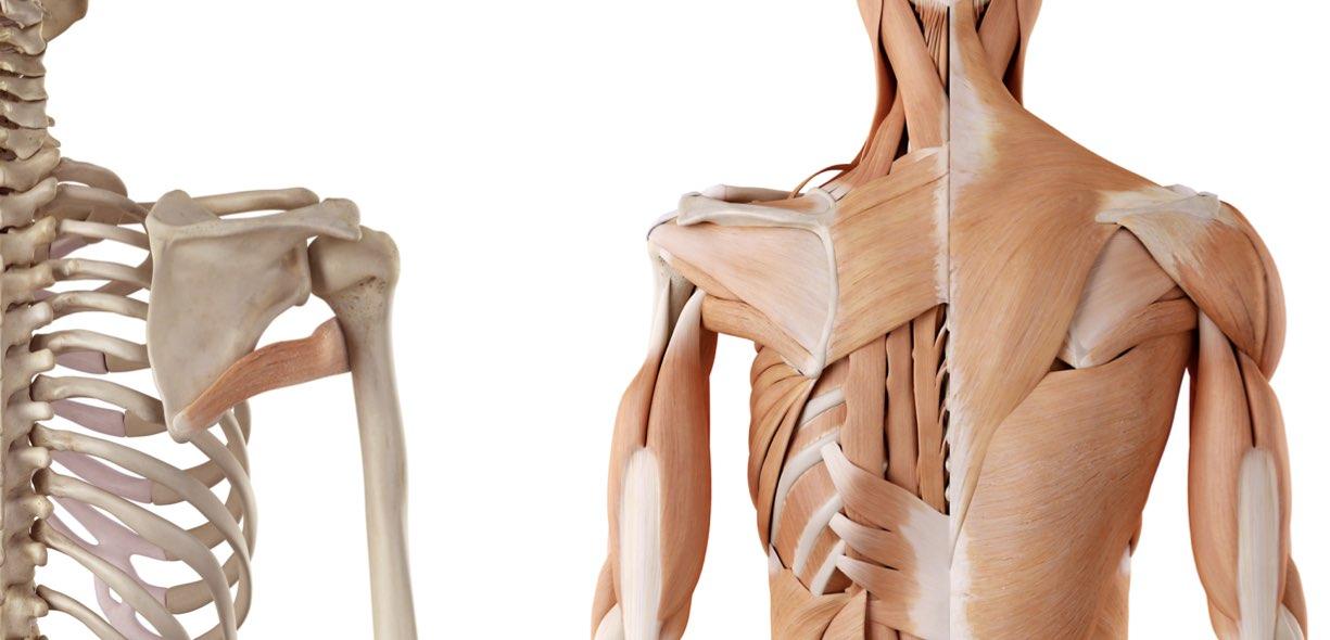 Muscolo Grande rotondo