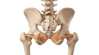 Muscolo otturatore interno visione posteriore