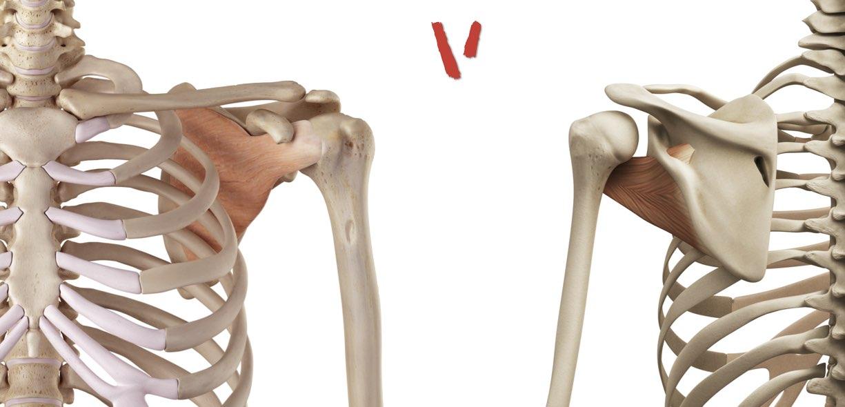 Sottoscapolare visione frontale dorsale
