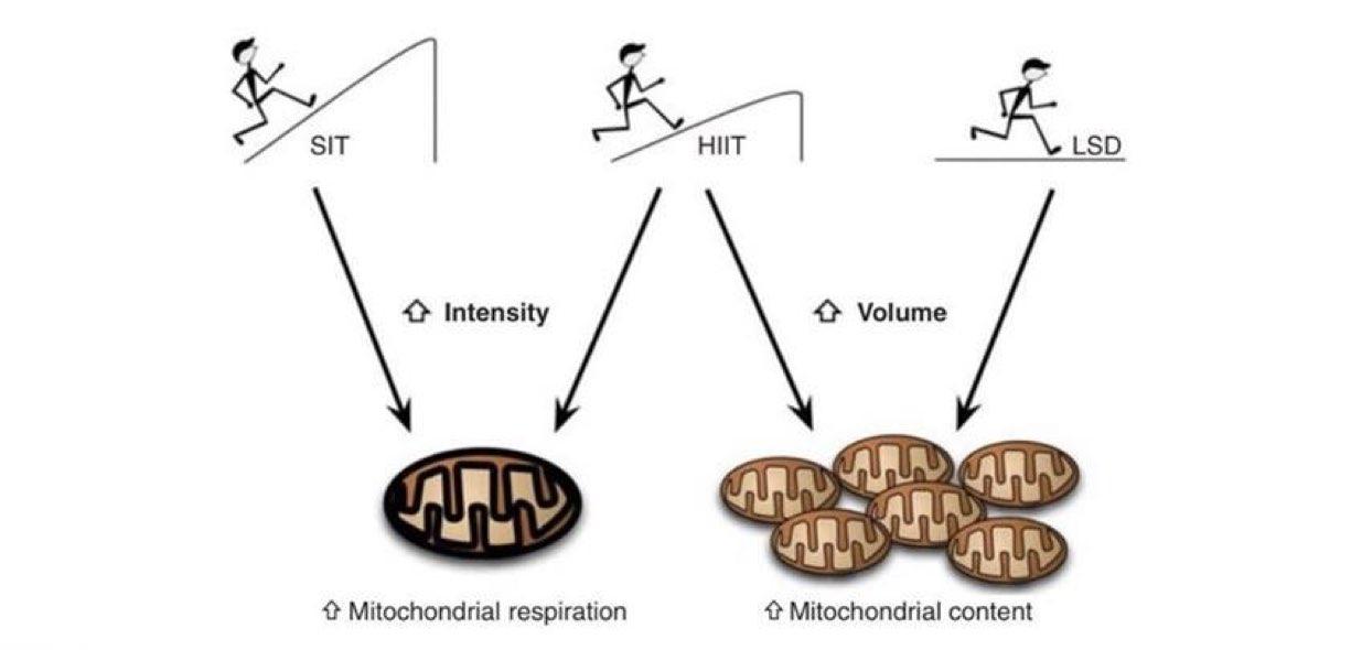 Tabata e mitocondri