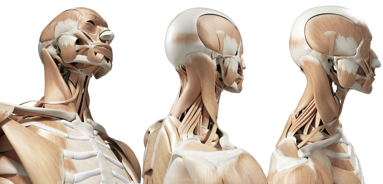 Anatomia Sternocleidomastoideo