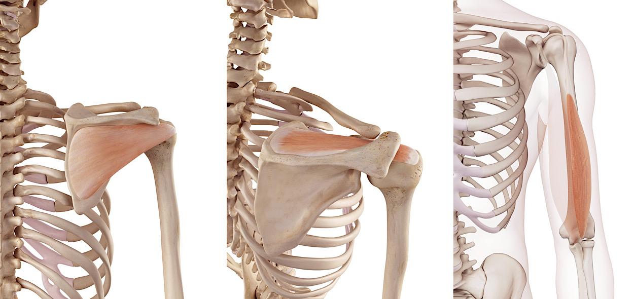 Muscoli spalla