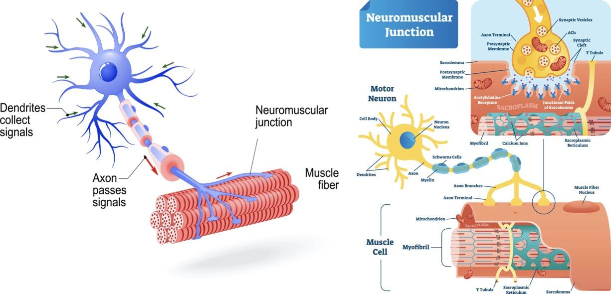 Motoneurone e fibre muscolari