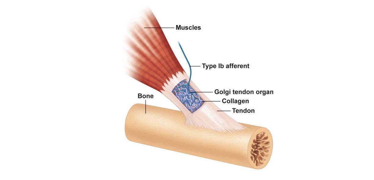 organi tendinei del Golgi