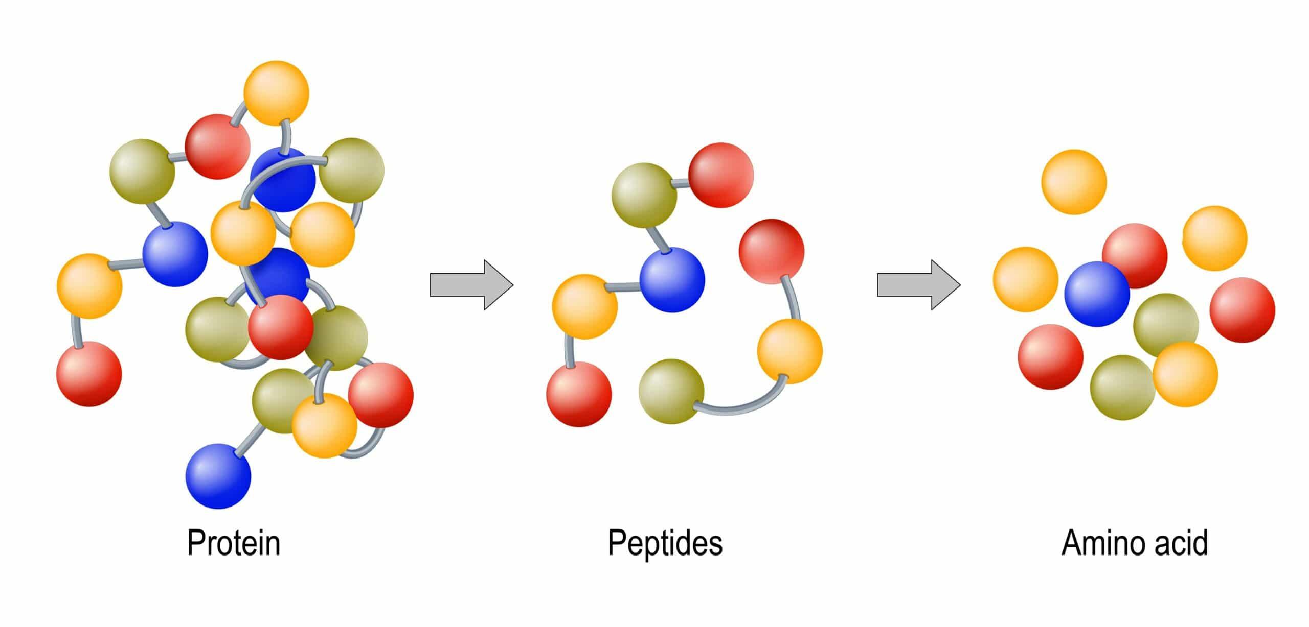 proteine cosa sono e quali funzioni hanno